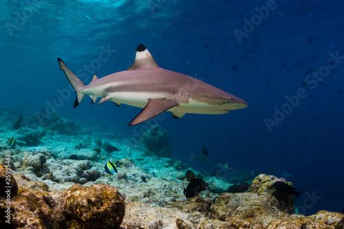 Fotografía Blacktip reef shark (Carcharhinus melanopterus) swims along the reef edge in the