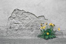 Flowering Dandelion Which Brok...