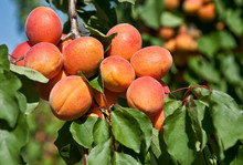 Apricots On Tree In Orchard
