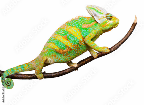 Fotobehang Kameleon Close-up view of cute colorful exotic chameleon isolated