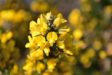 Close Up Of Flowers On A Gorse (ulex) Bush