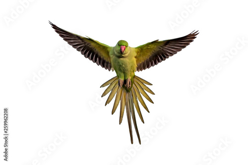 Foto op Plexiglas Vogel Flying green parrot. Isolated bird. White background. Bird: Rose ringed Parakeet