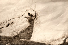 Sketch Of A Mourning Dove Perc...