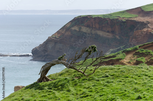 Obraz na plátně Windswept tree permanently bent by the prevailing winds on a grassy hilltop in the Chatham Islands, New Zealand, with high, sandstone cliffs in the background