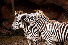 Two Zebras Snuggling In A Rock...