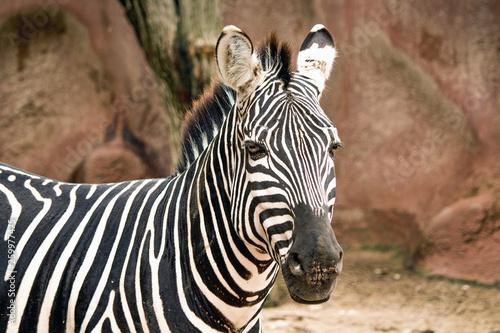 Photo Stands Zebra Closeup of a Grant's Zebra at the zoo