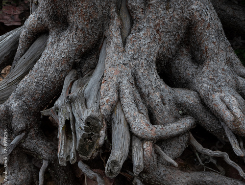 Knotted Mess of Tree Roots Wall mural