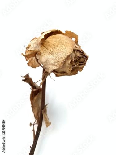 Valokuva  Flor marchita sobre fondo blanco