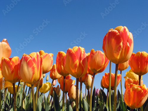 Photo  Field bicolor orange and yellow tulips on a bright blue sky in spring