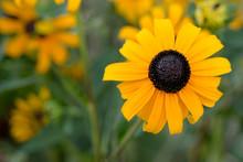 Black Eye Susan Flower Bloom.