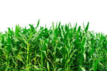 Corn Garden Isolated On White Background