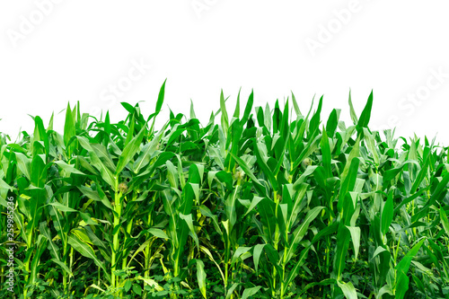 Foto Corn garden isolated on white background