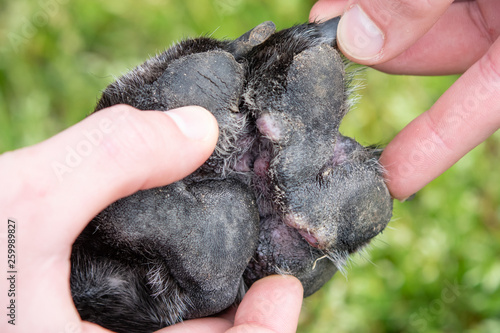 Vászonkép Underside of paw with canine atropic dermatitis