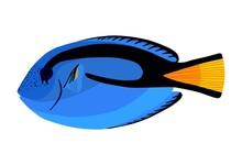 Surgeon Fish. Tropical Ocean F...
