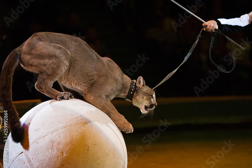 Poster Panther Puma performs in the circus