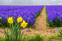 3 Three Lonely Standing Bright Yellow Daffodils In Focus With Violet Hyacinths Field In Blurry Bokey Background In The Netherlands Flower Blossom Season