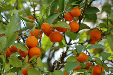Fruit Of Wild Mandarin On A Tree In A City Park
