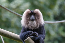 Lion-tailed Macaque Siting On ...