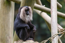 Lion-tailed Macaque Siting On The Branch