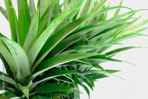 green crown pineapple Obraz na płótnie