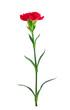 single red carnation