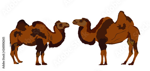 Fotografija Standing Bactrian camel vector isolated on white