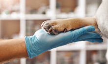 I Am Your Friend. Hand Of A Veterinarian In A Protective Glove Holding A Paw Of His Patient During While Working At Veterinary Clinic