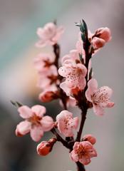 Fototapeta Do biura Brzoskwinia - kwiaty
