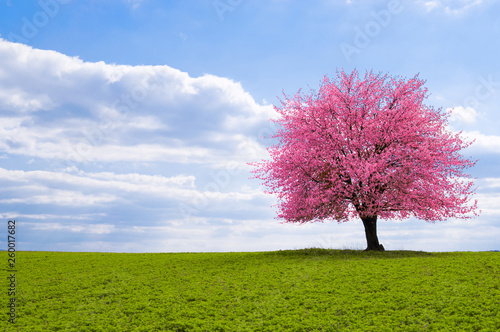 Photo  A blossoming cherry tree sakura on a horizon