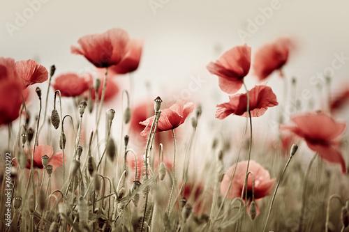 poppy-dream