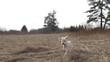 A small cute white dog runs through a small field. Gimbal tracking shot.