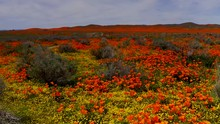Fly Over, Super Bloom Orange A...
