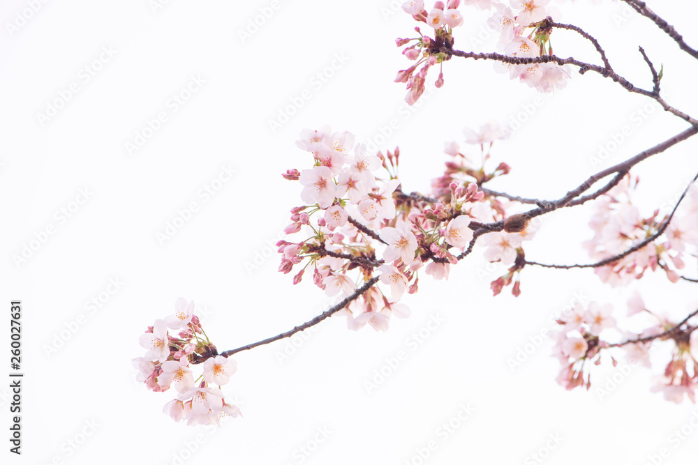 Fototapety, obrazy: 桜 満開