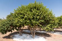 Mastic Tree In A Mastic Farm I...