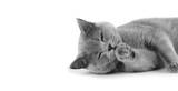 Fototapeta Cats - Purebred gray shorthair cat on isolation