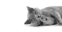 Purebred Gray Shorthair Cat On Isolation