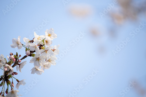 Aluminium Prints Blue sky 桜