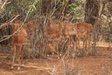 Fototapeta Sawanna - Impala antilopes Tsavo West Kenya