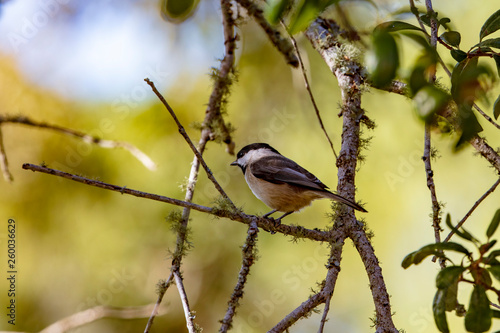 Fotografie, Obraz  A precious little Carolina Chickadee forages for insects in a live-oak tree on a