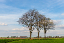 Three Tall Leafless Trees In The Foreground Of A Dutch Rural Landscape On A Sunny Day In The Beginning Of Springtime. The Photo Was Taken Near The Village Of Drimmelen, North Brabant.