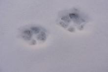 Marten Paw Prints In Snow