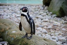 Humboldt Penguin Standing On Pebbles
