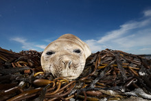 Southern Elephant Seal Pup Lying On Seaweeds