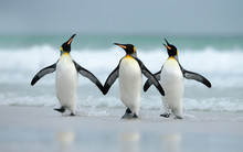 King Penguins Coming From The Ocean