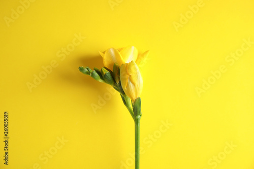 Fotografie, Obraz  Beautiful freesia with fragrant flowers on color background, top view