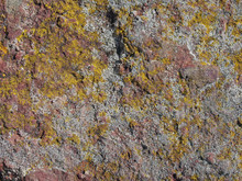 Yellow And Green Lichens Growi...
