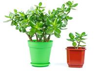 Crassula Ovata Jade Plant Isolated On White Background