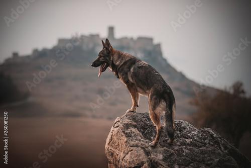 shepherd dog by castle Fototapeta