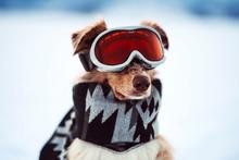 Winter Dog With Ski Glasses