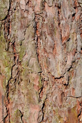 kora drzewa sosnowego